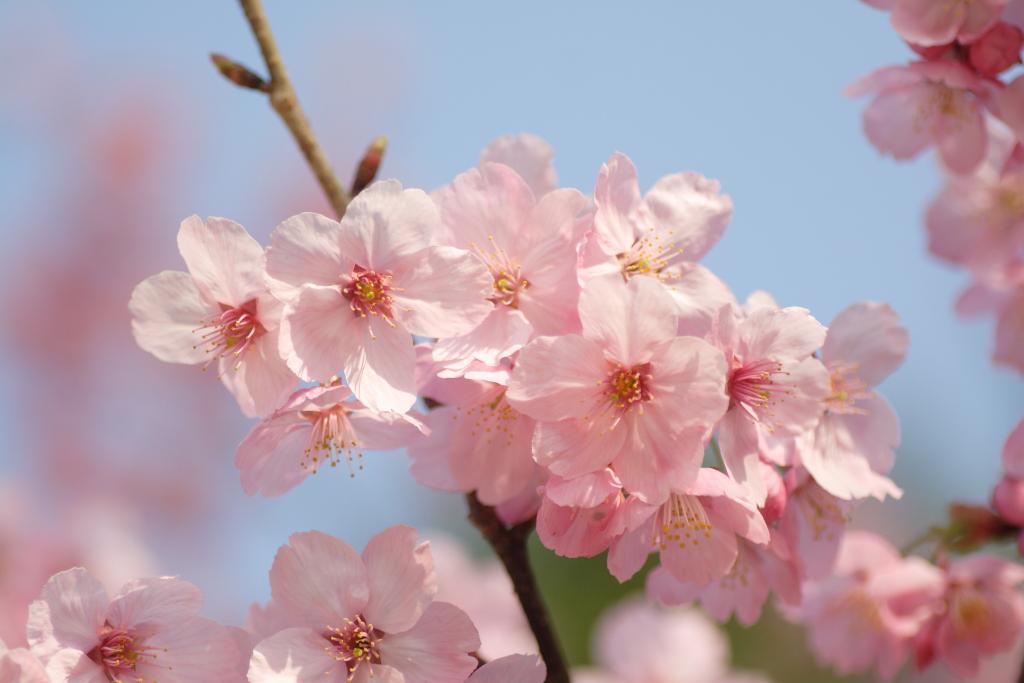 送別会をイメージする桜